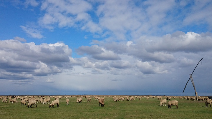 Sheep Grazing in the Puszta Hungary taken by Goran Gugic red